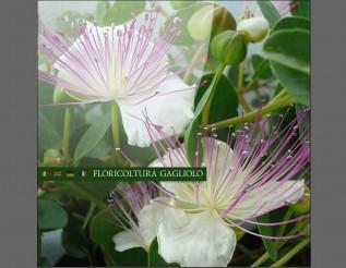 floricolturagagliolo